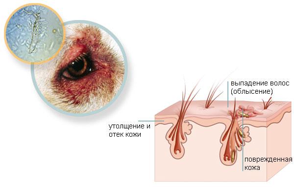 Демодексы живут в волосяных фолликулах