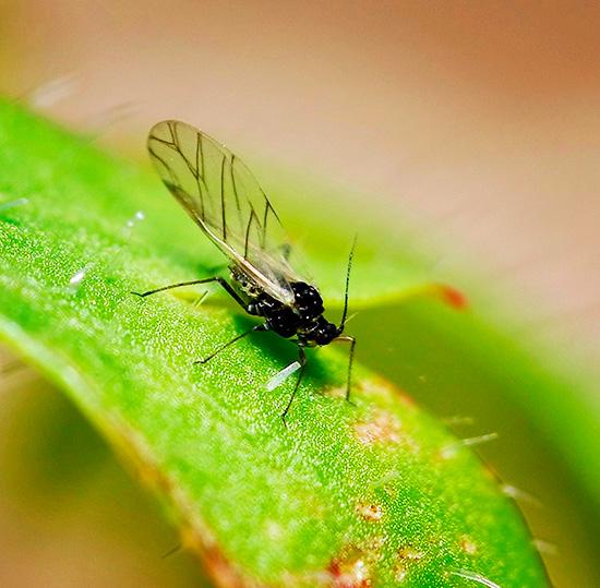 Так называемые грибные комарики размножаются во влажной земле
