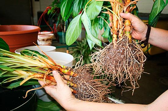 Обработка почвы и своевременная пересадка растений помогут избавиться от мошкары