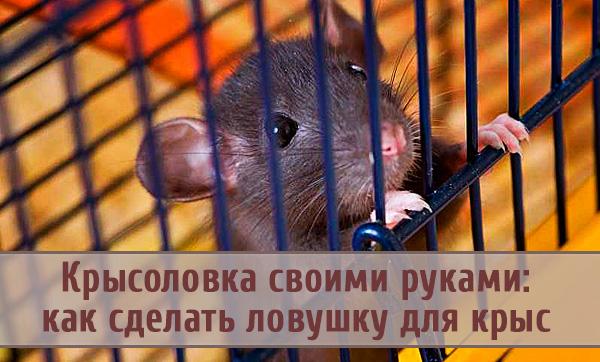 Как правильно и быстро сделать крысоловку своими руками