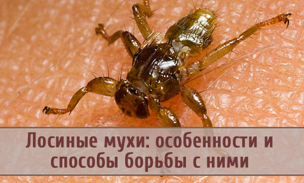 Особенности лосиной мухи и способы борьбы с ней