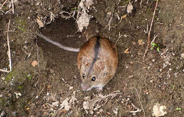 В случае опасности грызун прячется в норку, поэтому первым делом нужно разрушить нору