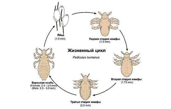 Цикл развития человеческой вши