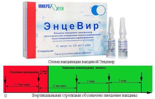 Схема, на которую опираются при вакцинации
