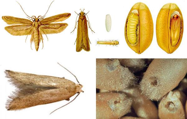Внешний вид амбарной зерновой моли