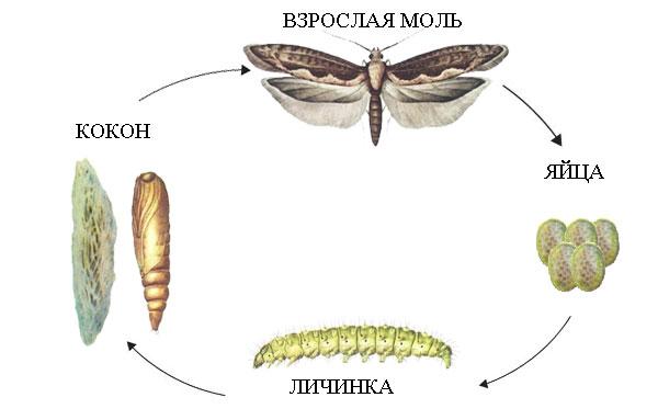 Жизненный цикл развития моли