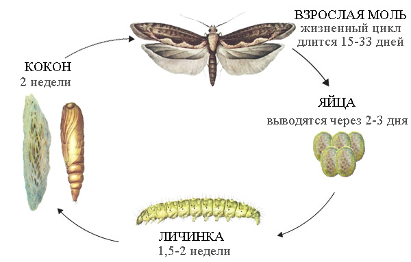 Жизненный цикл развития капустной моли