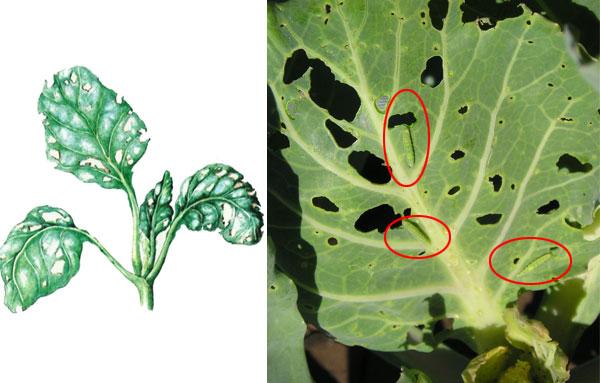 Пораженные капустной молью листья капусты