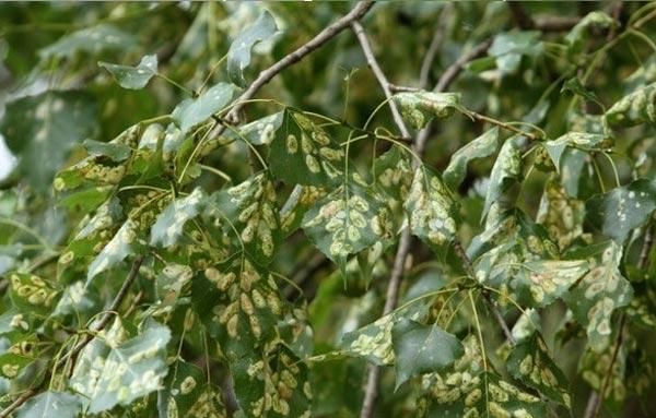 Наносимый вред дереву тополиной молью