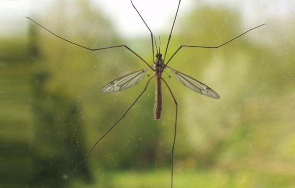 Комар-долгоножка за окном