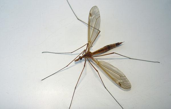 Большой комар долгоножка