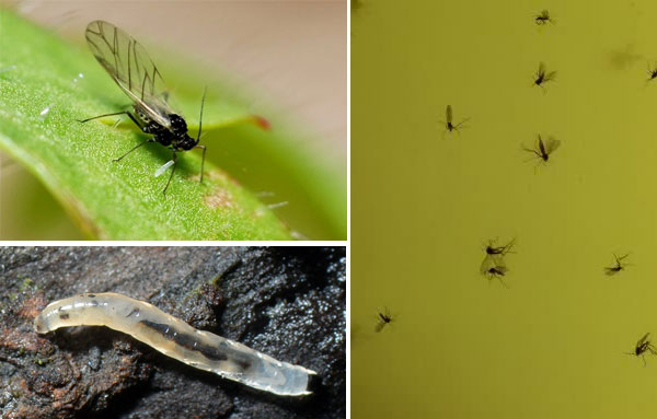 Мошка - грибной комарик