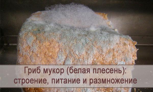 Белая плесень (гриб мукор): строение, питание и размножение