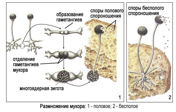 Размножение гриба мукора