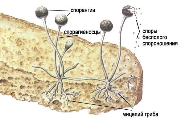 Строение гриба мукора