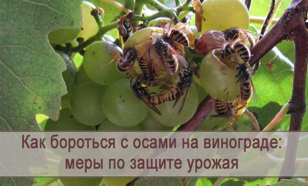 Меры борьбы с осами на винограде, как защитить урожай