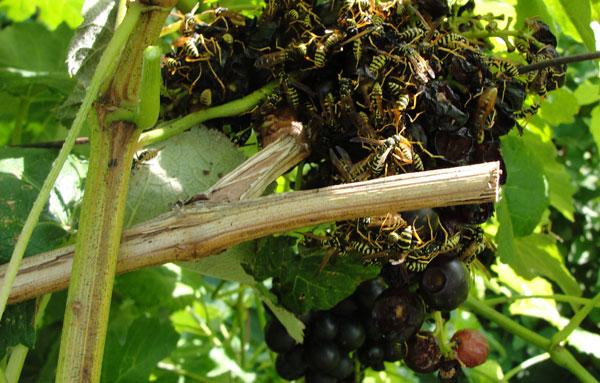 куча ос на винограде