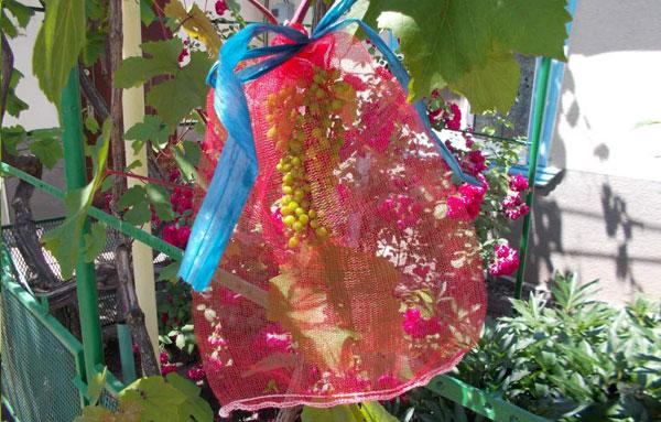 защита винограда от ос с помощью мешочков