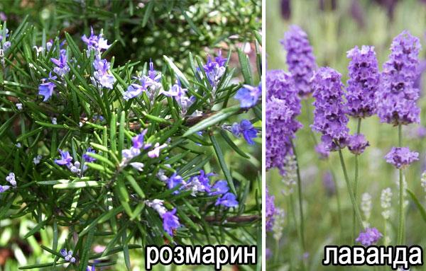 Цветы розмарина и лаванды