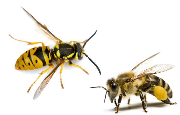 Внешний вид осы и пчелы