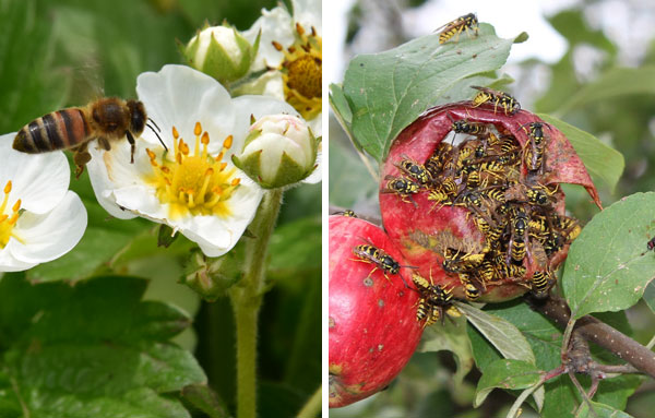 пчела опыляет, оса вредит