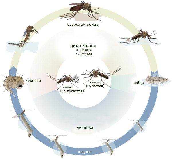 Цикл развития комаров