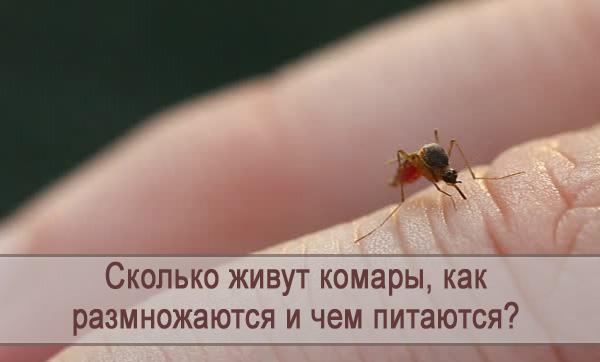 Сколько могут жить комары, как размножаются и чем питаются?