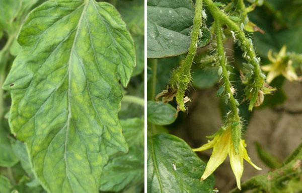 признаки наличия тли на помидорах