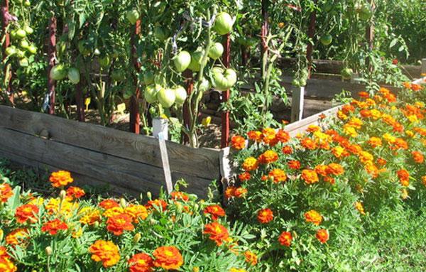 Бархатцы, высаженные рядом с помидорами помогут от тли
