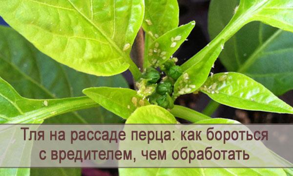 Как бороться с тлей на рассаде перца, чем можно обработать растение