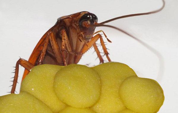 Приманка для тараканов с борной кислотой