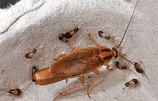 Домашний рыжий таракан с оотекой