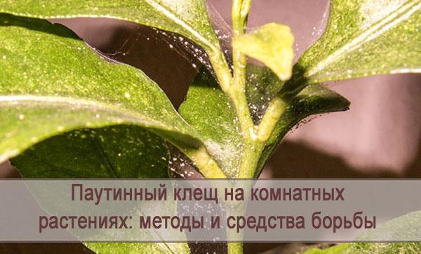 Методы и средства борьбы с паутинным клещом на комнатных растениях