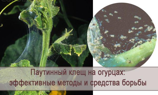Эффективные методы и средства борьбы с паутинным клещом на огурцах