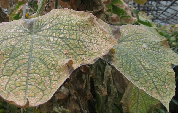 паутина на огуречных листьях