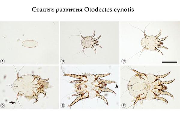 стадий развития Otodectes cynotis