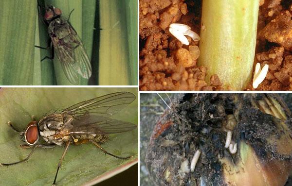 Внешний вид луковой мухи на разных стадиях развития