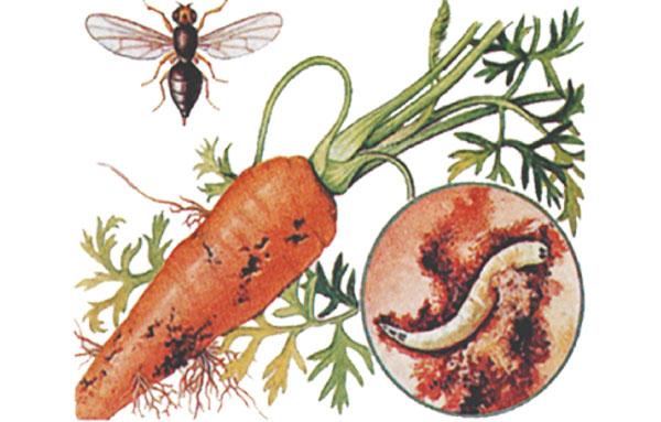 Жизненный цикл морковной мухи