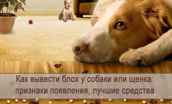 Выводим блох у собаки или щенка: как обнаружить, средства борьбы