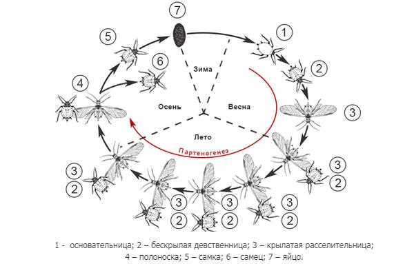 цикл развития капустной тли