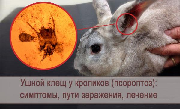 Симптомы ушного клеща у кроликов (псороптоза): пути заражения, лечение