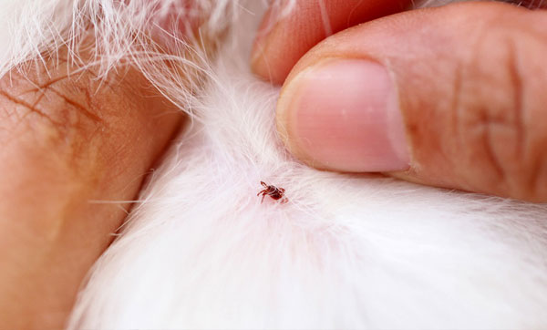 обнаружение клеща у кошки