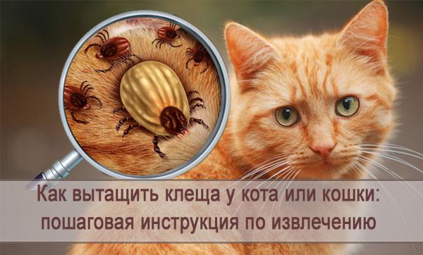 Как правильно вытащить клеща у кота или кошки: пошаговая инструкция