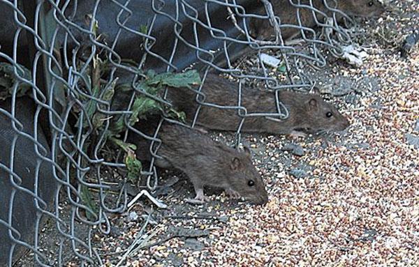 Крысы лезут