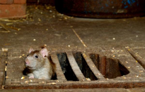 Крыса из подвала