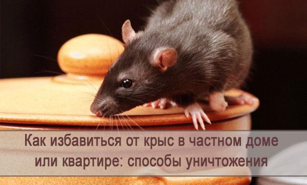 Крысы в частном доме или квартире: как избавиться, способы уничтожения