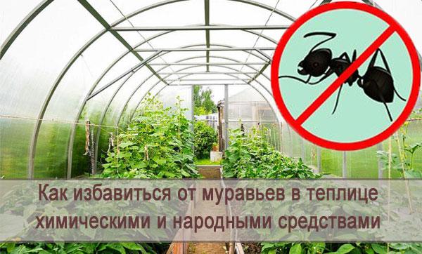 Муравьи в теплице: как избавиться химическими и народными средствами
