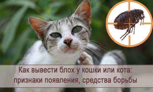 Блохи у кошки или кота: признаки появления, как вывести, средства борьбы