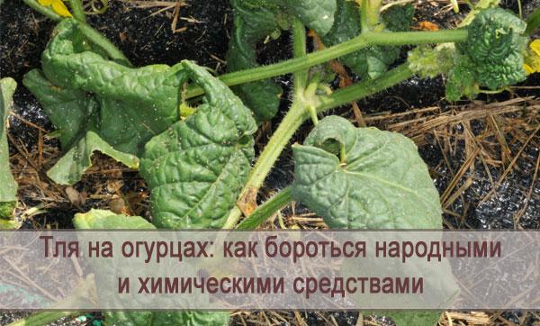 Как бороться с тлей на огурцах сверху и снизу листьев, чем можно обработать