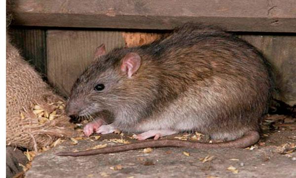 причины появления крыс
